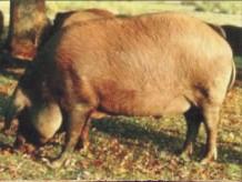 cerdo colorao