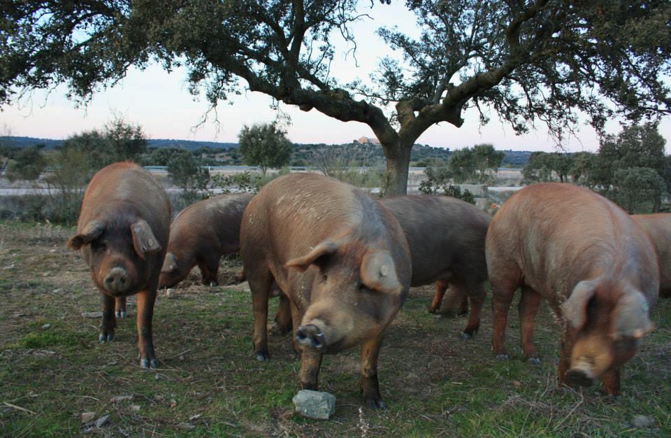 El cerdo Ibérico II