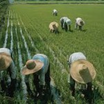 Oryza Sativa, Conociendo el arroz