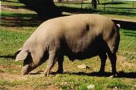 cerdo en la dehesa