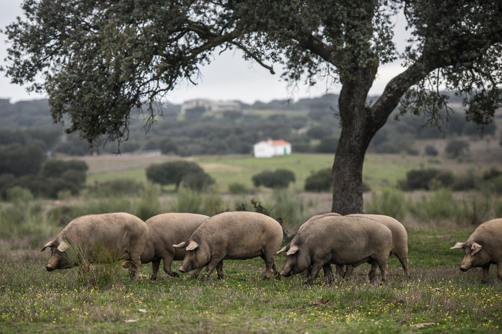 El cerdo Ibérico I